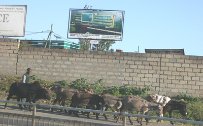 PHOTO BY JERRY SCHARF An ox and asses are driven along a highway outside of Addis Ababa.
